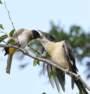 Bulbul feeding a Thick-billed Cuckoo