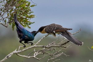 Burchell's Starling feeding GSC