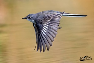 Cape Wagtail in flight