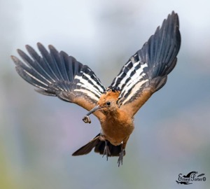 African Hoopoe in flight with a snack