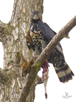 Crowned Eagle with its kill