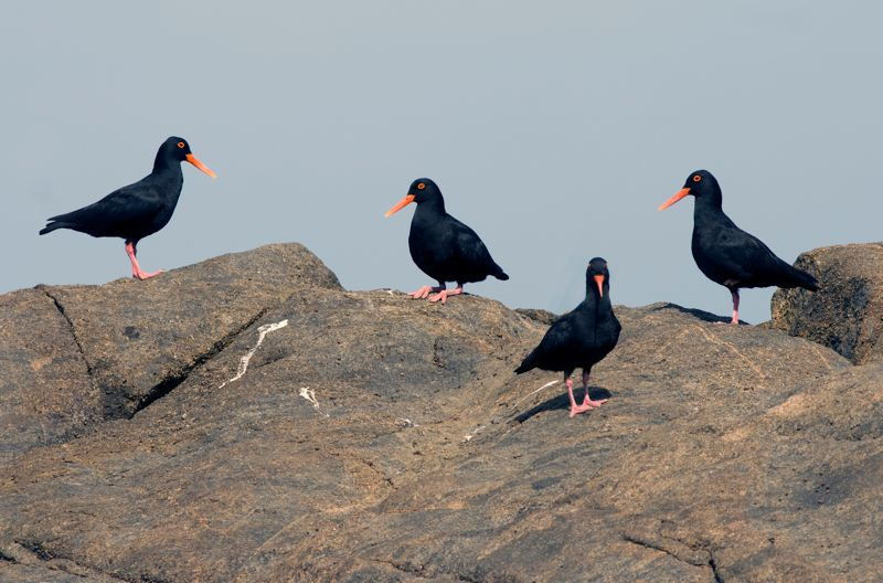 African Black Oystercatcher