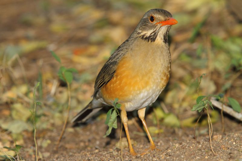 Kurrichane Thrush