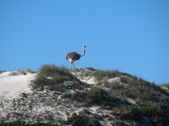 Ostrich on a dune