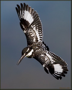 Pied Kingfisher Dive