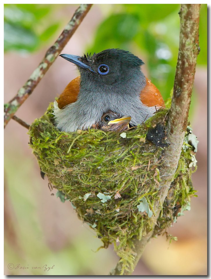 African Paradise-Flycatcher with nest