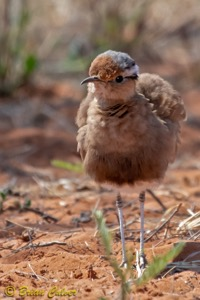 Burchell's Courser - Mokala, Lilydale section