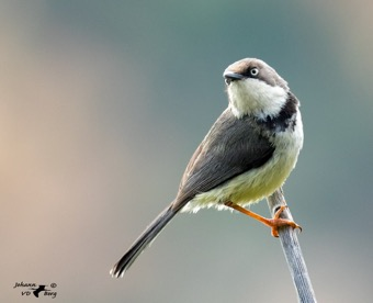 Bar-throated Apalis of the griseopygia race