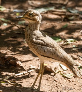 Water Thick-knee
