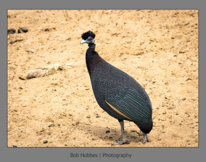 Crested Guineafowl1