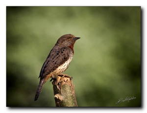 Red-throated Wryneck. Umtentweni, KZN