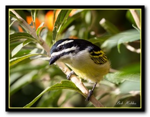 Yellow-rumped Tinkerbird Tweni
