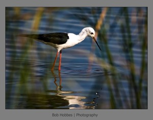 Black-winged Stilt Mkhuze