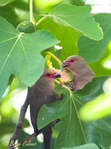 Red-faced Mousebirds raiding our Figs