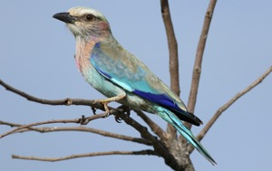 Lilac-breasted Roller juvenile