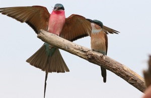 Southern Carmine Bee-eater with junior