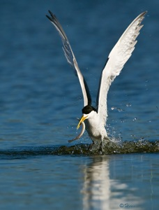 Swift Tern with long fish