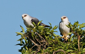 Black-shouldered Kite pair