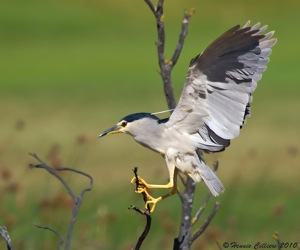 Black-crowned Night-Heron landing