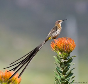 Cape Sugarbird  posing on Leucospermum