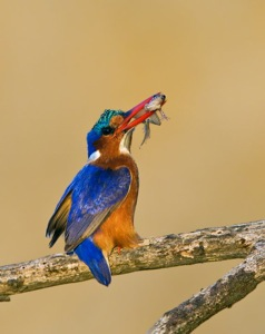 Malachite Kingfisher with fish