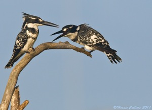 Pied Kingfisher pair
