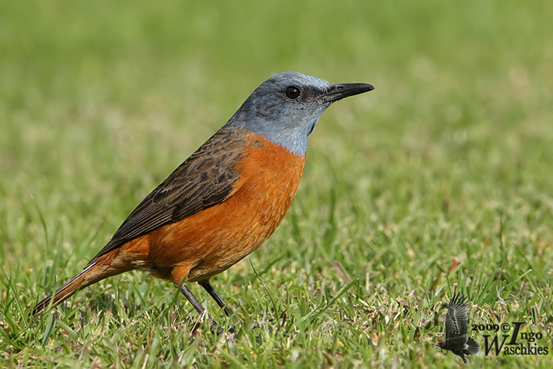 Cape Rock-Thrush Ellen Page
