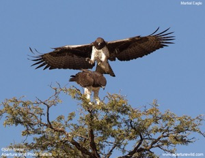 Martial Eagle mating