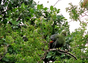 Knysna Turaco and Sombre Greenbul (lower left)