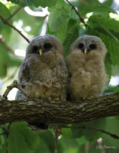 African Wood-Owl (Juv)