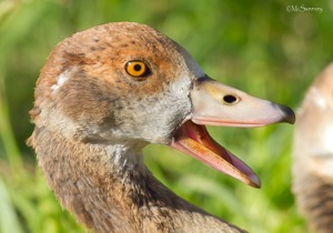Egyptian Goose having her say