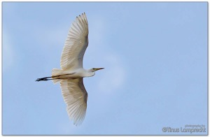 Yellow-billed Egret
