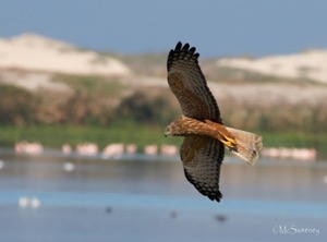African Marsh Harrier1