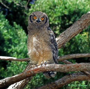 Spotted Eagle-Owl juv