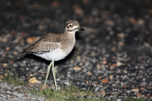 Water Thick-knee juv.