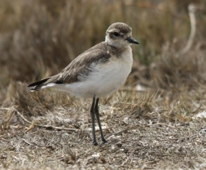 Kittlitz's Plover non-breeding