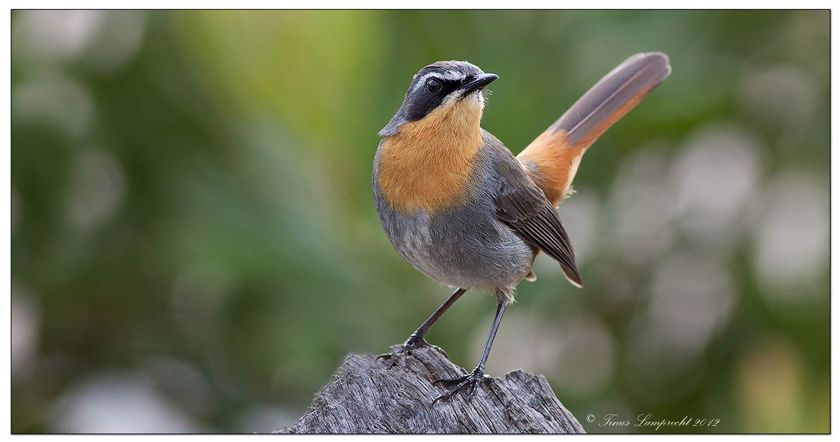 Cape robin chat cossypha caffra