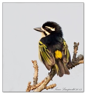 64 Yellow-rumped Tinkerbird