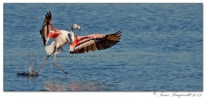 453 Greater Flamingo