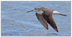 241 Common Greenshank