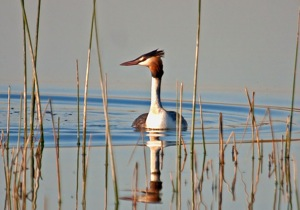 415 Great Crested Grebe